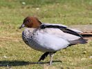Male Australian Wood Duck (Slimbridge April 2013)